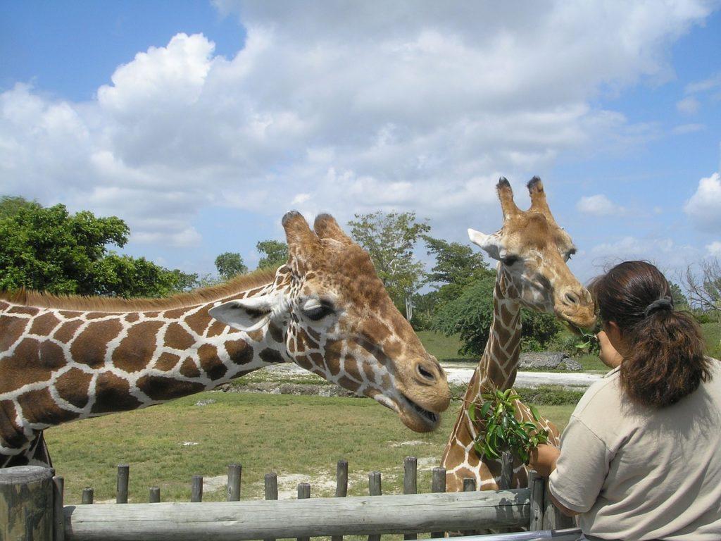 krmení žiraf v zoo miami