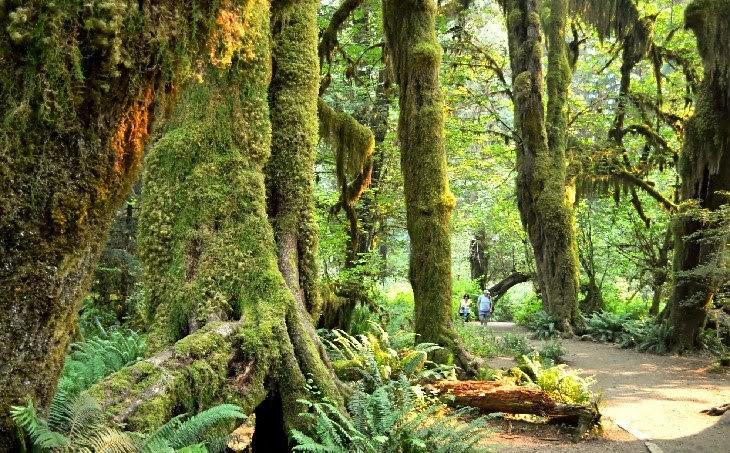 stromy v národním parku Olympic, jednom z divů Sojených států