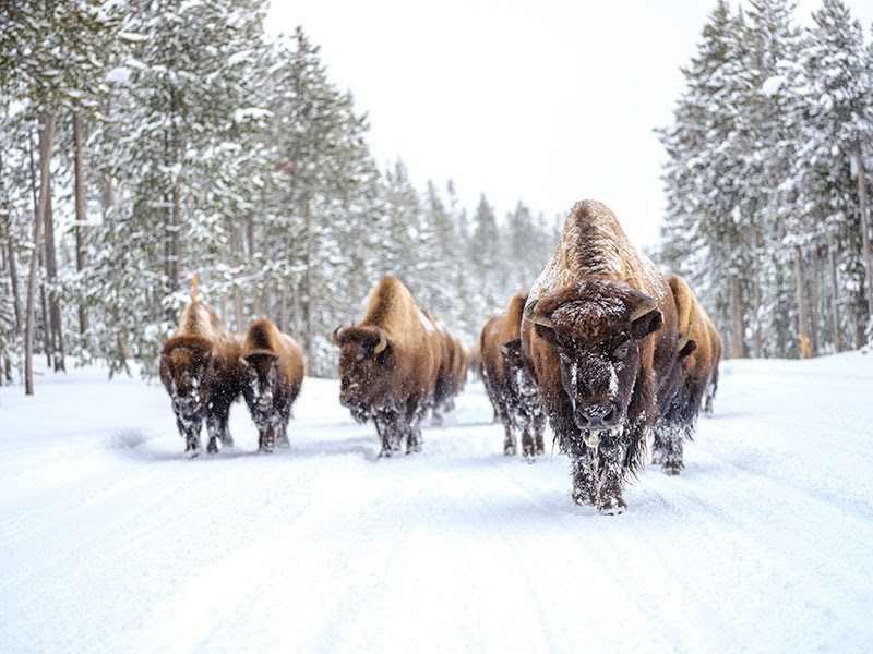 bizoni v zasněžené Montaně